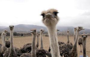 El síndrome del avestruz